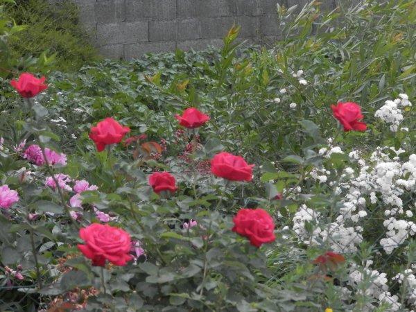 ♥ Ƹ̵̡Ӝ̵̨̄Ʒ ●  mes roses ♥ Ƹ̵̡Ӝ̵̨̄Ʒ