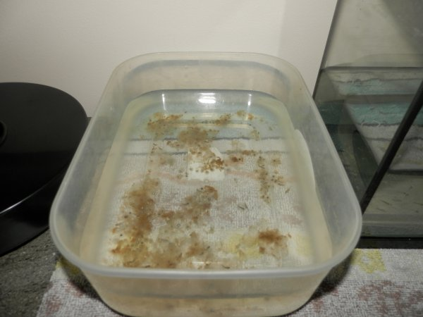 axolotl  les oeufs