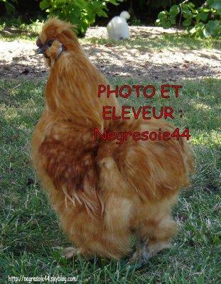 Mon dernier coq reproducteur nègre-soie fauve barbu GR
