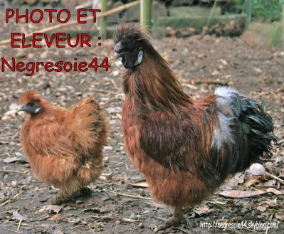 Couple de Poule soie rouge non barbu GR reproducteur 2009