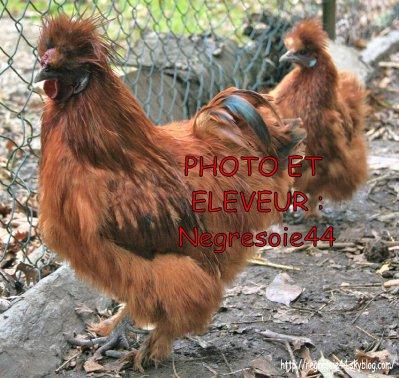 Couple de Poule soie rouges non barbus GR