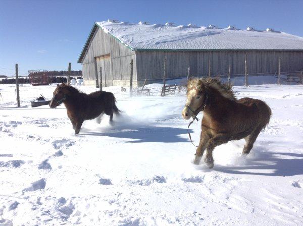 Jack & Comète dans la neige au galop..(1)