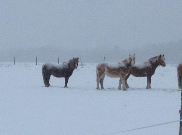 Les chevaux dans la neige