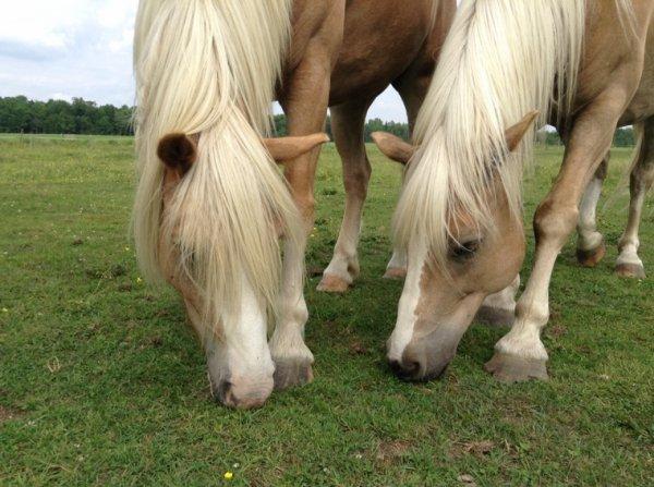 Grandeur de mes chevaux en mains... + âge !! Année 2016