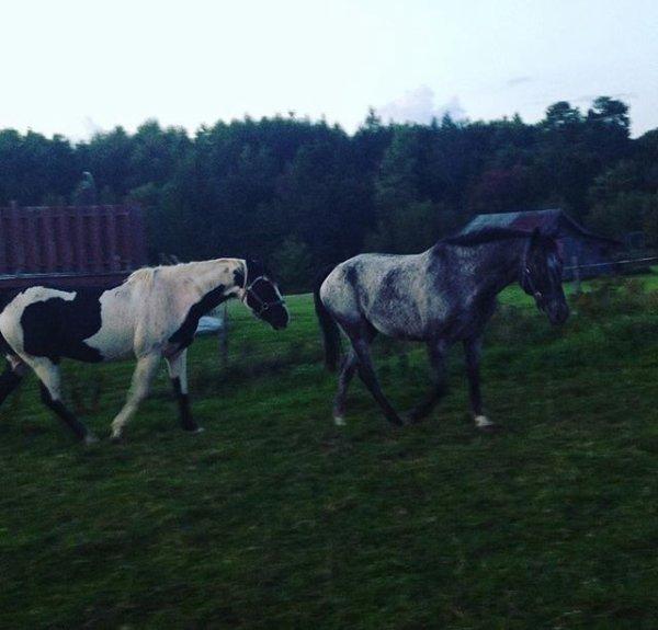Hier, Les voisins on achetés un autre cheval, mais de: race Appaloosa bleu rouan de 12 ans , hongre, dompté à l'équitation! Il s'apelle : Lastcall  !!