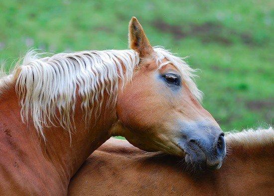 Le cheval est une merveille de la nature.Voici un magnifique Palomino