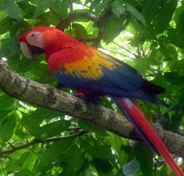 Perroquet du Costa-Rica....