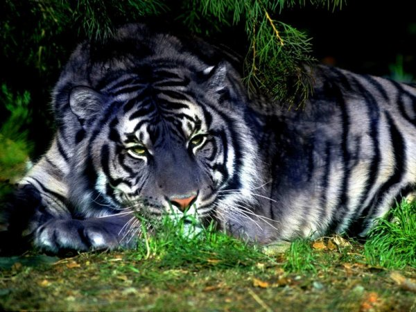 Splendide animal..... Le Tigre bleu maltais....