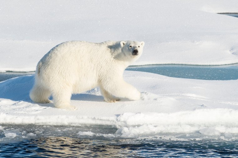 L'ours blanc....
