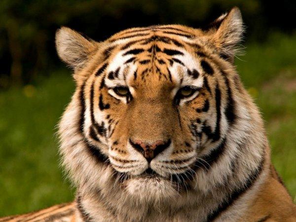 Le tigre du bengale....
