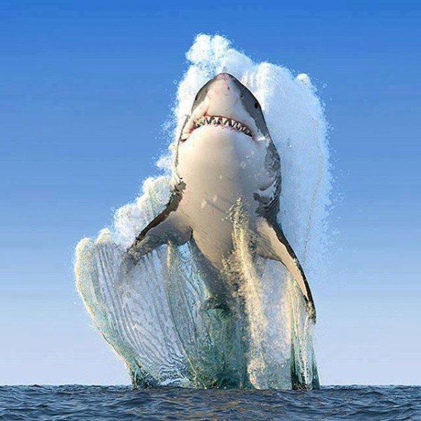 Le grand requin blanc....