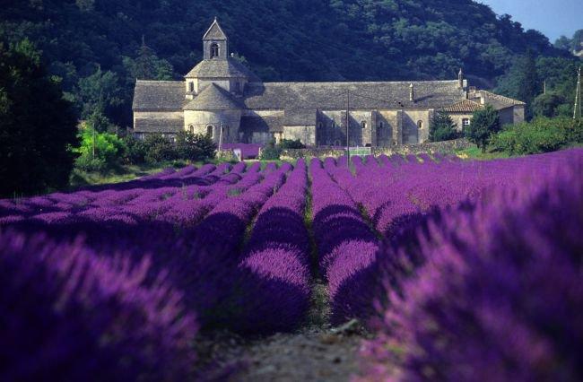 Champ de lavande Tha à l'abbaye de Sénanque dans ma Provence à 50 km de chez moi......