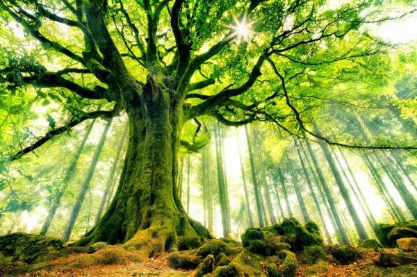 Le hêtre de Ponthus, forêt de Brocéliande. Bretagne.....