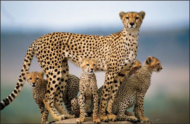 Le guépard : roi de la vitesse féline et des animaux terrestre.....