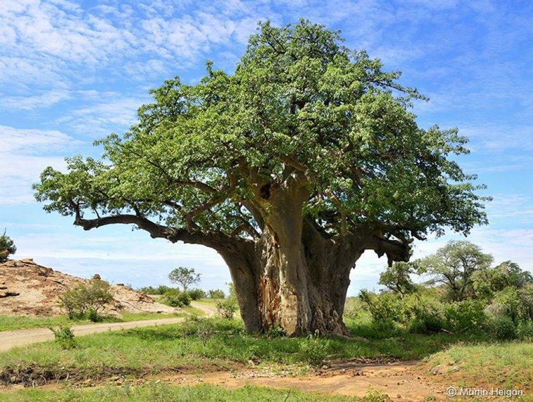 Le baobab....