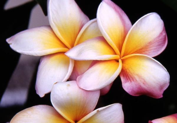 Fleurs de frangipanier....