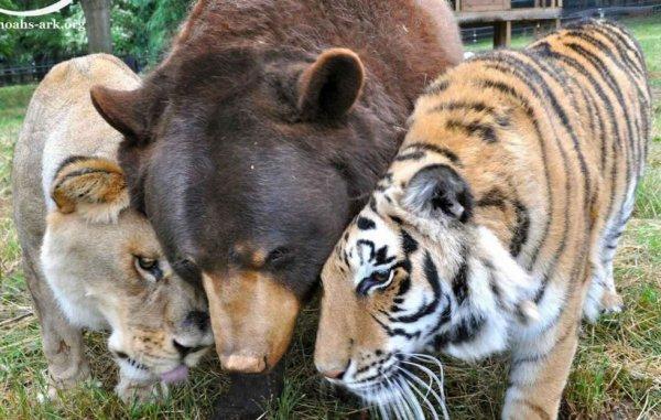 Leo le lion, Shere Khan le tigre et Baloo l'ours sont inséparables depuis 15 ans....!!!