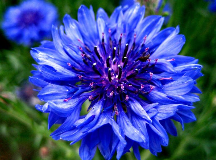 Fleur des champs, le bleuet des Alpes.....