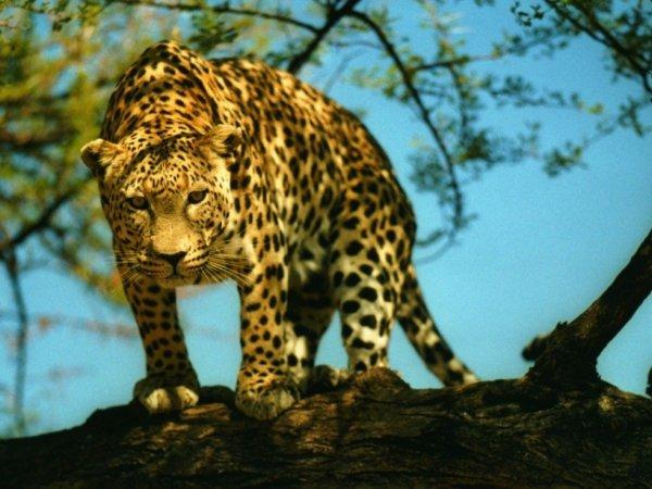 Le léopard.....