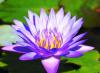 Fleur de Lotus de Bali......