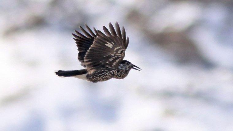 Un cassenoix moucheté, oiseaux de ma région.....