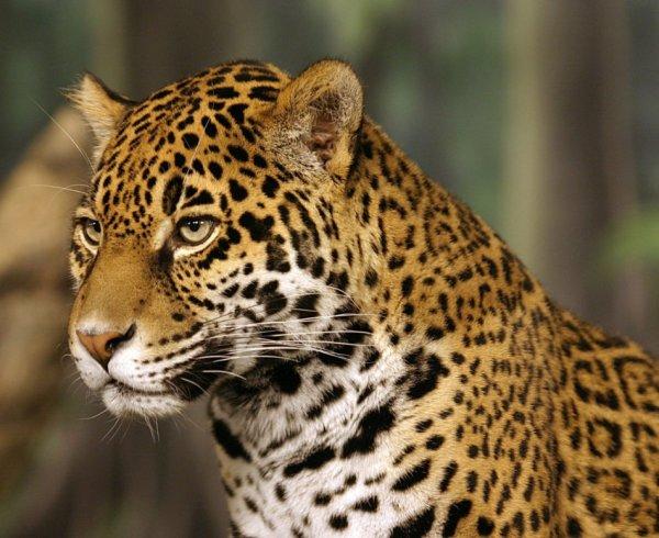Le jaguar...