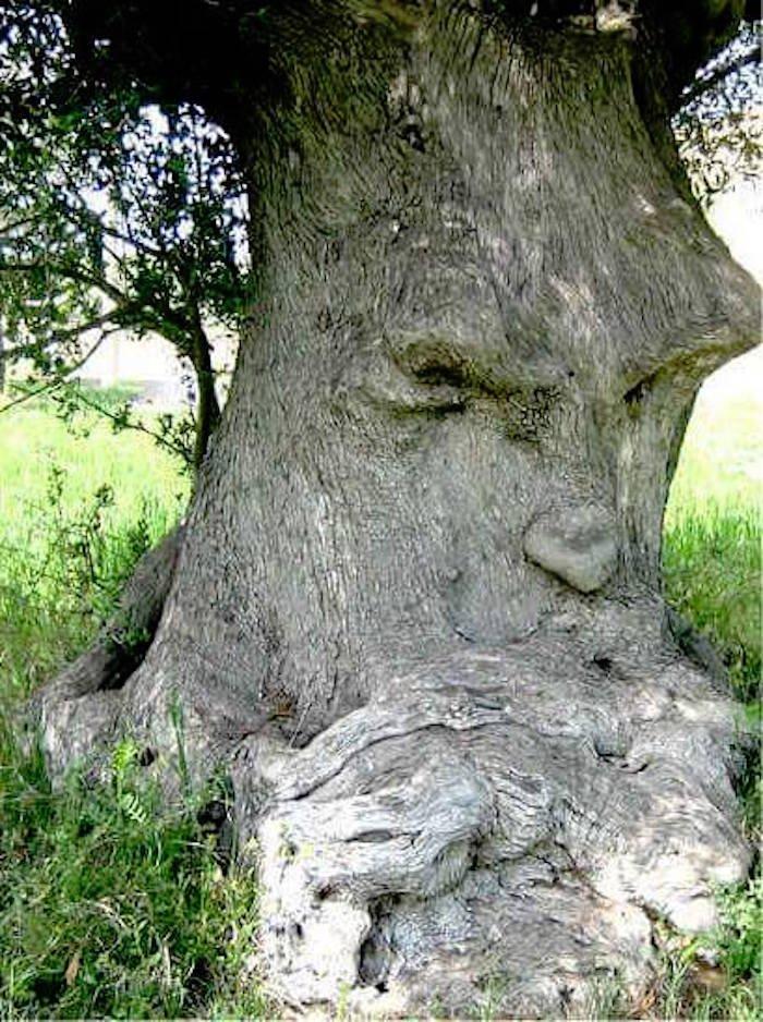 L'olivier pensant, Ginosa, Italie