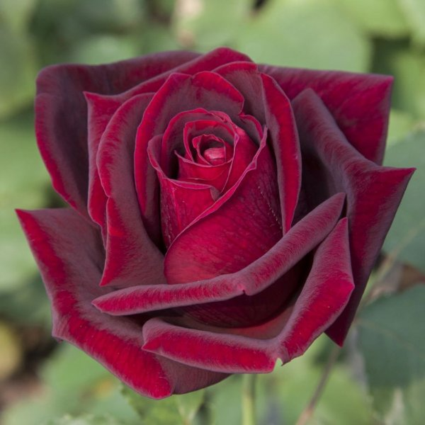 Rose rouge Papa Meilland......