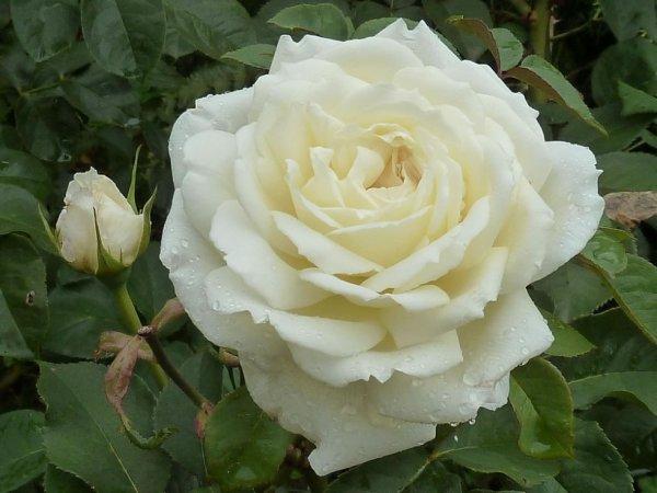 Rose Jeanne Moreau.....