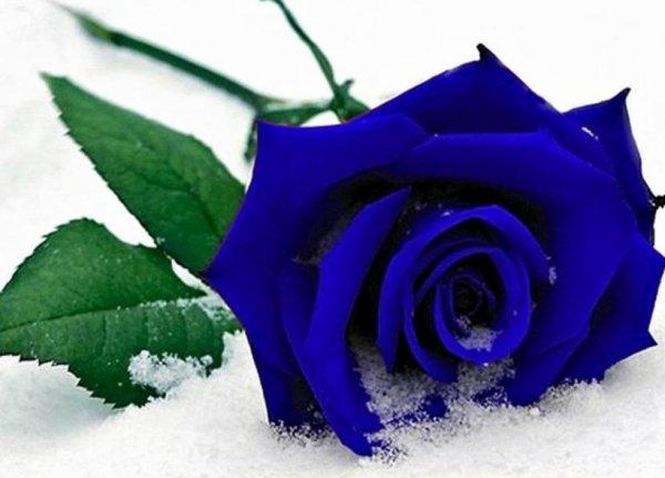 Les roses bleu n'existe pas, ceux sont des roses blanche colorées....
