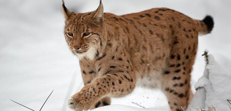 Le Lynx Boréal....