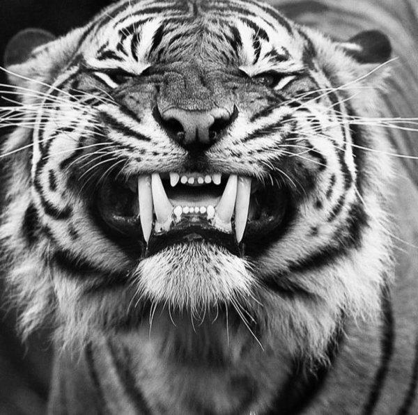 Tigre....