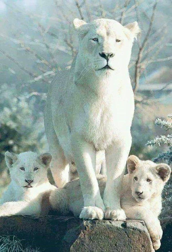Qu'est ce t'as vu maman.....un lion blanc les enfants... votre papa....
