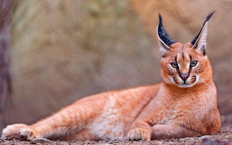 Le caracal, lynx de Perse.....