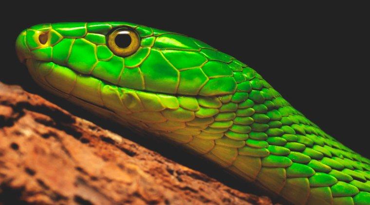 Le Mamba vert....
