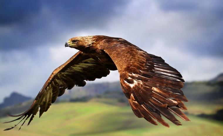 l'aigle royal, sans aucun doute...... le roi du ciel.....