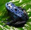 La grenouille de dard de poison....