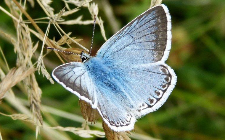 Papillon Argus bleu nacré....