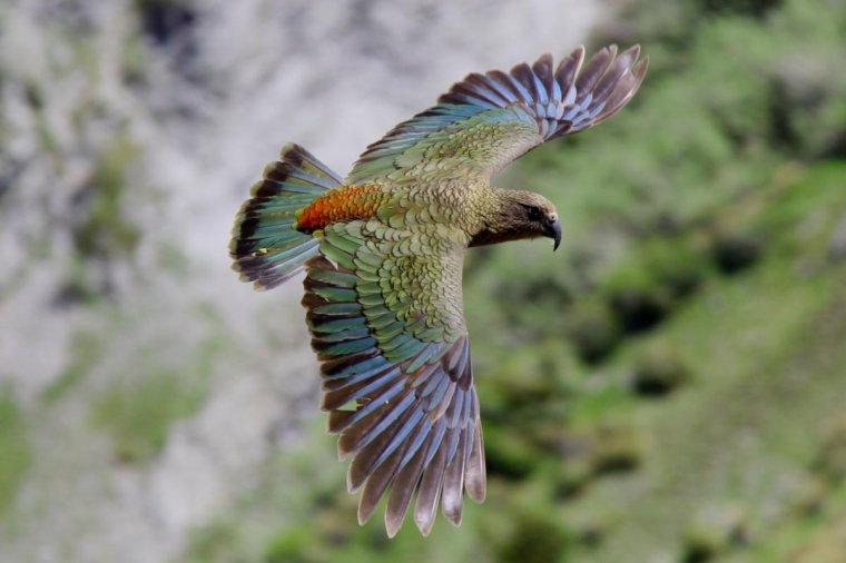 Le Kéa, oiseau de Nouvelle-Zélande...