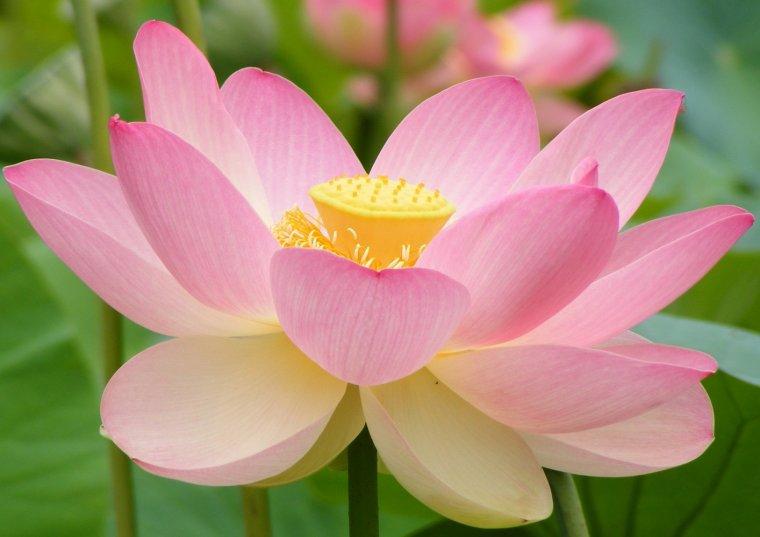 Fleurs de lotus, éveilleraient les sens.....