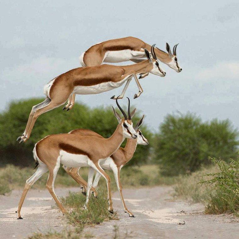 Le springbok, symbole de l'Afrique du sud.....