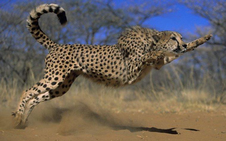 Le guépard en action....