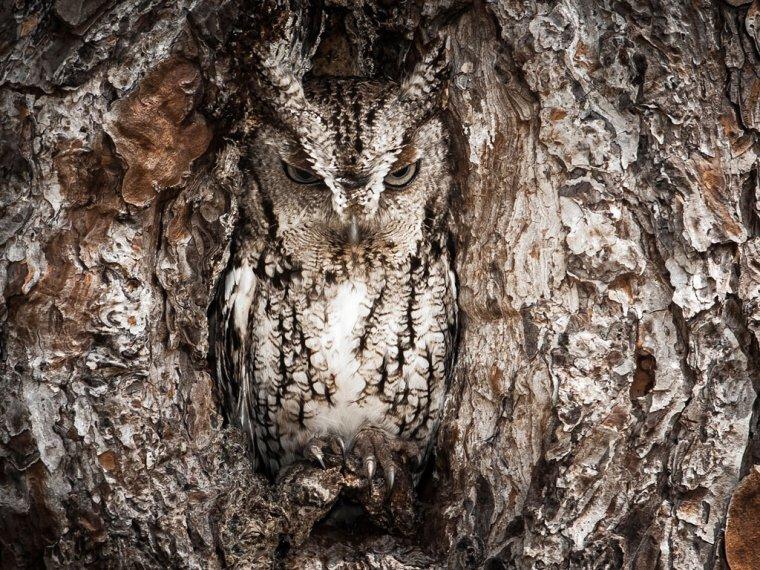 Un petit duc dans son nid.......