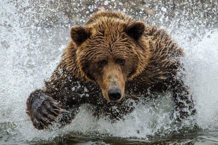 L'ours brun....