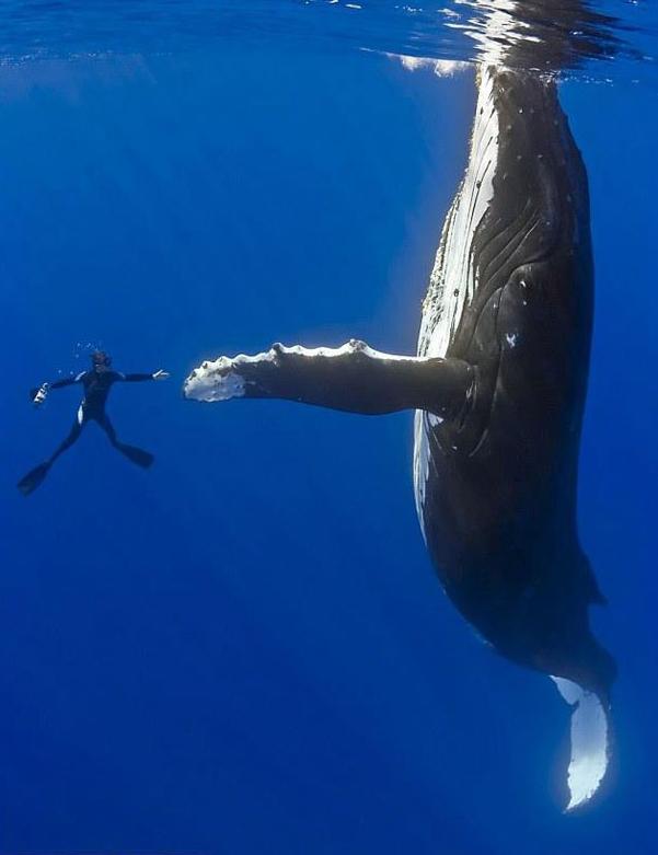 Baleine mégaptère....