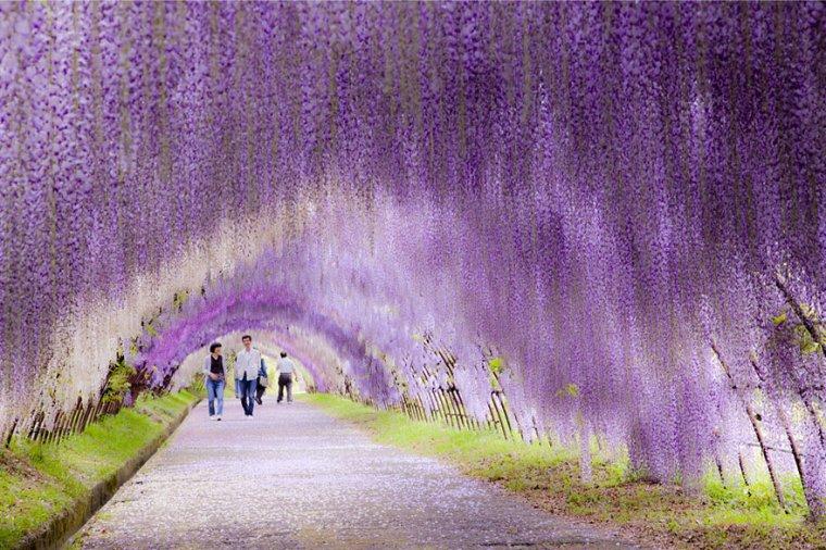 Le jardin de Kawachi-fuji, cascade de Glycines, Kitakyushu, Japon...