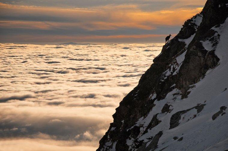 Un chamois au dessus d'une mer de nuages....
