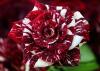 Rose rayée tigre.....