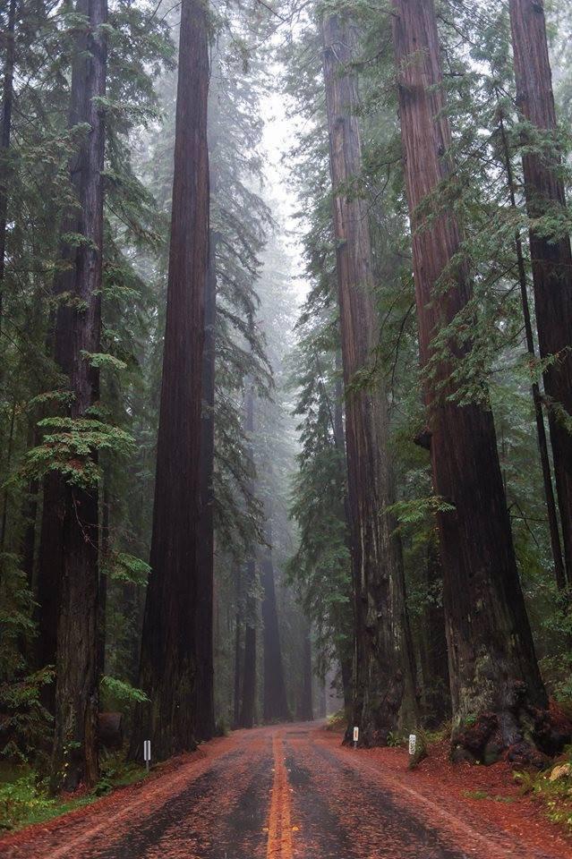 Forêts de Redwood, les séquoias de Californie, États-Unis......