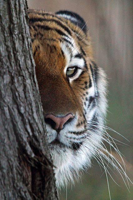L'½il du tigre...